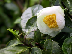 camellia sasanqua, flower, leaf, yellow, macro photography, flora, theaceae,