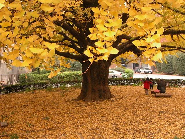Ginko Tree at Tokyo Uni campus