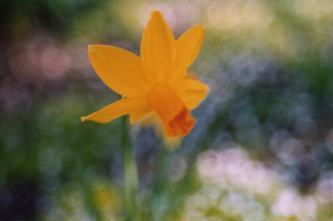 daffodil_deco-sm