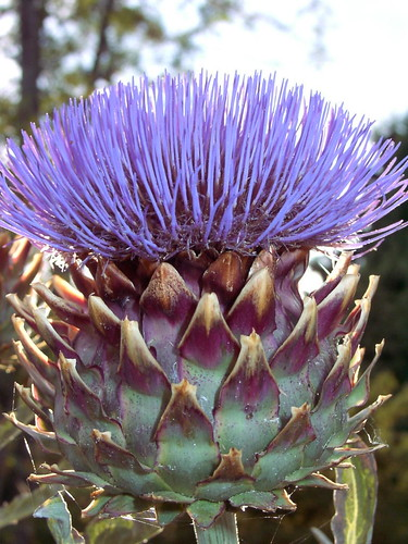 Cardoon in flower