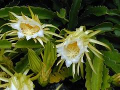 moonlight cactus(0.0), produce(0.0), epiphyllum anguliger(0.0), flower(1.0), yellow(1.0), plant(1.0), flora(1.0), epiphyllum oxypetalum(1.0), epiphyllum crenatum(1.0), cactus family(1.0),
