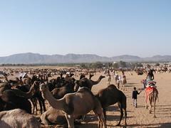 Tons o' Camels