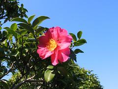 shrub, camellia sasanqua, flower, plant, flora, camellia japonica, theaceae,