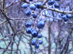 berry, branch, flora, produce, fruit, food, prunus spinosa,
