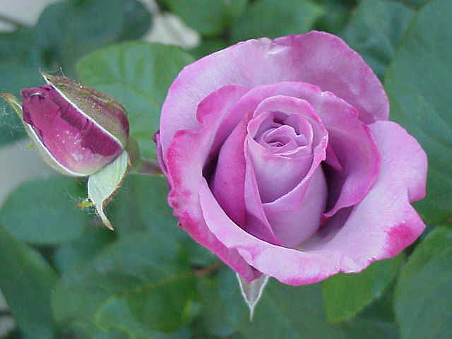 purple tipped roses