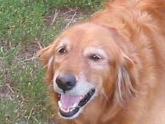 dog breed, animal, dog, pet, nova scotia duck tolling retriever, golden retriever, carnivoran,