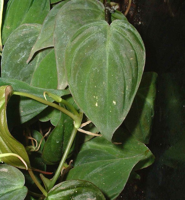 Philodendron Cordatum Micans 0001 Explore Henryr10 S