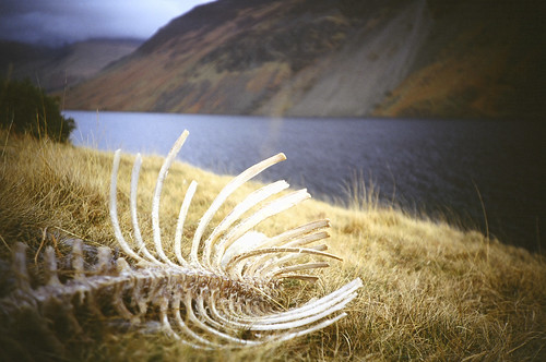 sheep skeleton