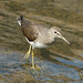 Green Sandpiper - Photo (c) Ray Cui, some rights reserved (CC BY-NC-SA)