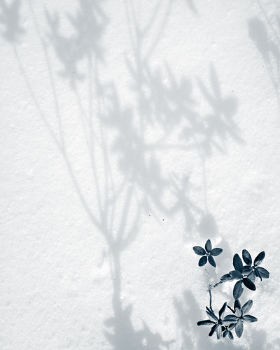 Flower shadows on newfallen snow