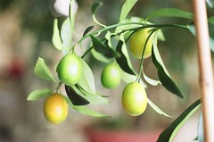 citrus(0.0), flower(0.0), produce(0.0), food(0.0), branch(1.0), plant(1.0), olive(1.0), fruit(1.0),