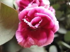 carnation, garden roses, flower, plant, macro photography, flora, pink, petal,
