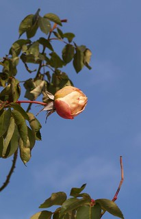 Dessicated Rose (1)