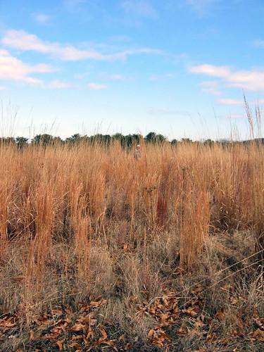Prairie tall grasses / Bernheim Arboretum, Kentucky