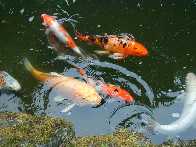 Koi japanese gardens portland oregon by geek2nurse for Portland japanese garden koi