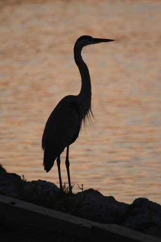 venice bird heron sunrise florida