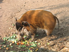 animal, fauna, pig-like mammal, wildlife,