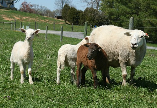 spring sheep farm pasture lambs grazing katahdin ewes hairsheep