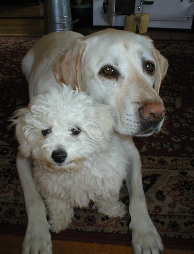 Mickey, a yellow Labrador and Skye, a poodle cross