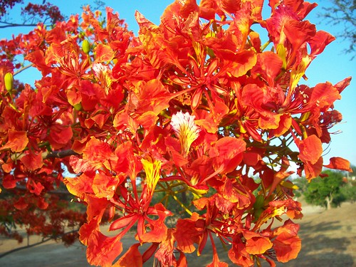 Fiery Fire Tree Flowers by Jepster