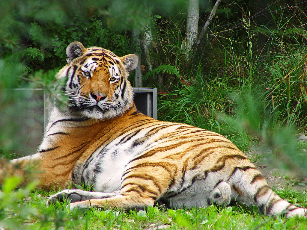 Tiger of Zürich zoo