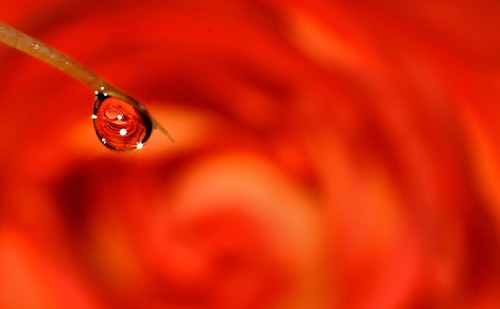 rose refraction