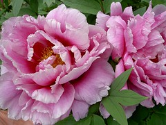 2007 牡丹花 Tree Peonies