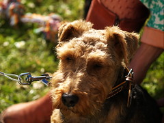 animal, dog, pet, mammal, lakeland terrier, welsh terrier, irish terrier, terrier,