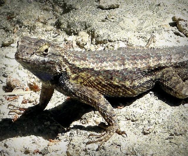 Western Fence Lizard | Flickr - Photo Sharing!