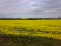 vegetable(0.0), food(0.0), pasture(0.0), canola(1.0), prairie(1.0), agriculture(1.0), horizon(1.0), flower(1.0), field(1.0), yellow(1.0), mustard plant(1.0), brassica rapa(1.0), plain(1.0), plant(1.0), produce(1.0), crop(1.0), meadow(1.0), rapeseed(1.0), rural area(1.0), grassland(1.0),