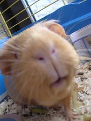 nose, animal, guinea pig, rodent, pet, hamster, whiskers, gerbil,