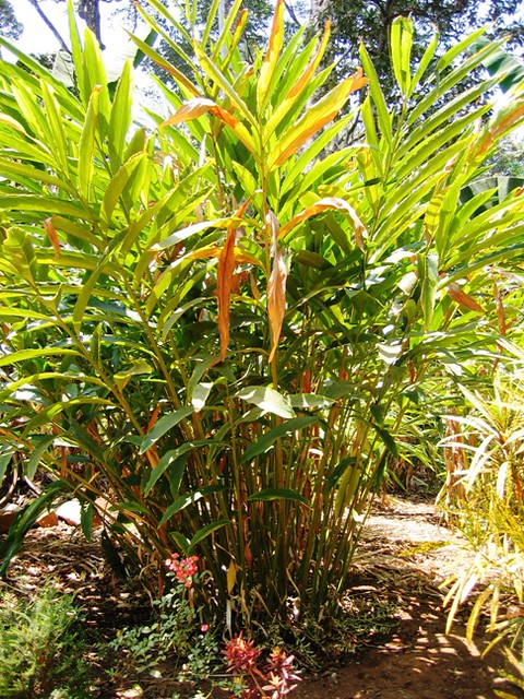 Green Cardamom Tree