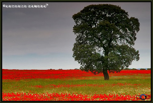 flowers red sky españa paisajes flores flower landscape landscapes spain rojo flor paisaje cielo poppy poppies bonita beautifull mancha castillalamancha amapolas amapola manchuela casasimarro manchuelaconquense