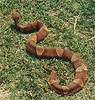 Broadbanded_Copperhead