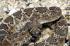 "<a href=""http://www.flickr.com/photos/dad_and_clint/487581249/"">Photo of Crotalus atrox by Clinton & Charles Robertson</a>"