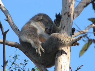 Koala on Phillip Island