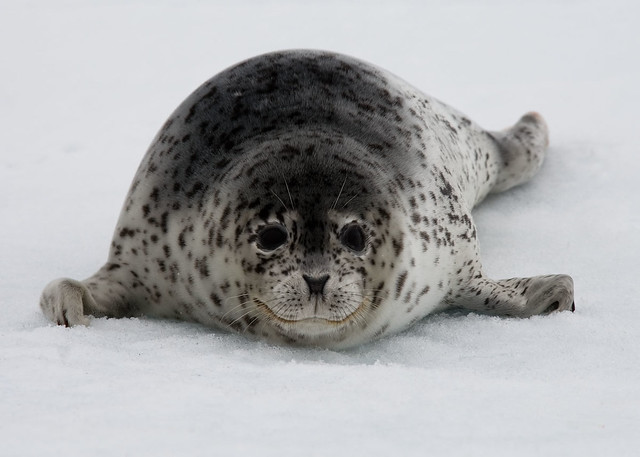 Spotted Seal Stare Down | Young spotted seal turns to face ...