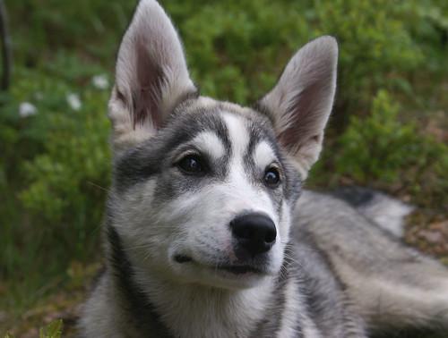 506189383 1449d60a10 Cool Siberian Husky images