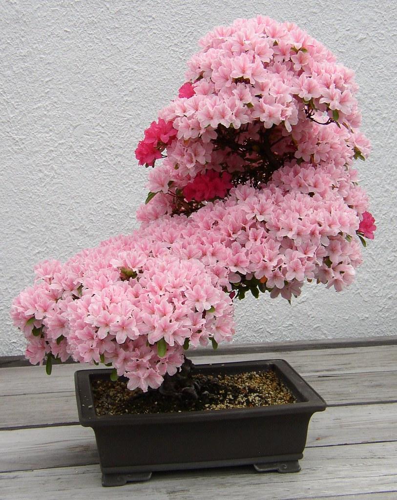 Tiger spendago pengertian dan jenis jenis bonsai for Azalea bonsai