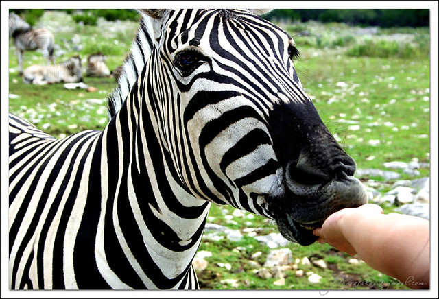 The Zebra And Me