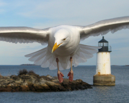 Seagull at Fort Pickering Light