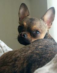 The Sleepy Chihuahua
