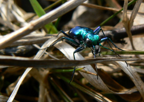 park nature bug insect outdoors tiger beetle prairie irwin sixspotted