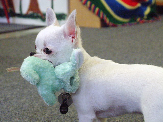 Cute Funny Chihuahua Puppy With the Toy