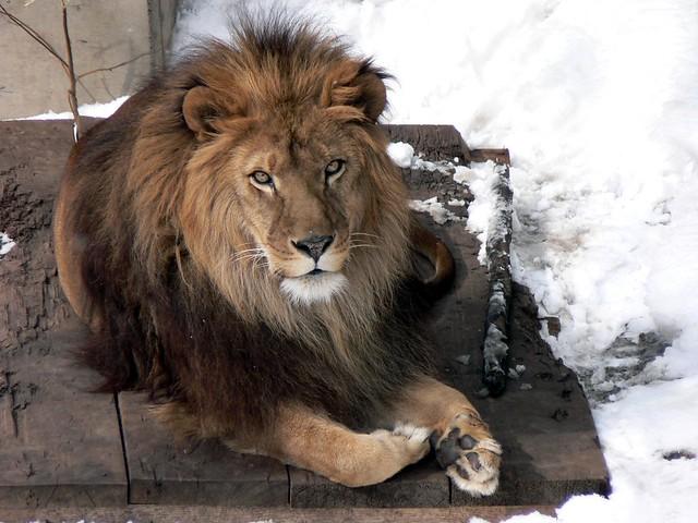 ライオンの画像 p1_34