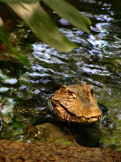 Header of crocodilian