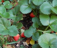 blackberry(0.0), flower(0.0), thimbleberry(0.0), wine raspberry(0.0), produce(0.0), food(0.0), cloudberry(0.0), dewberry(0.0), bramble(0.0), shrub(1.0), berry(1.0), leaf(1.0), mock strawberry(1.0), strawberry(1.0), plant(1.0), fruit(1.0),