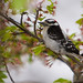 Downy Woodpecker03