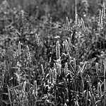 Grass Joiner