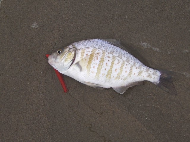 barred surf perch released from venice beach ca march